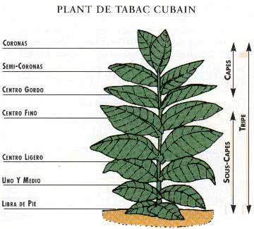 comment planter tabac